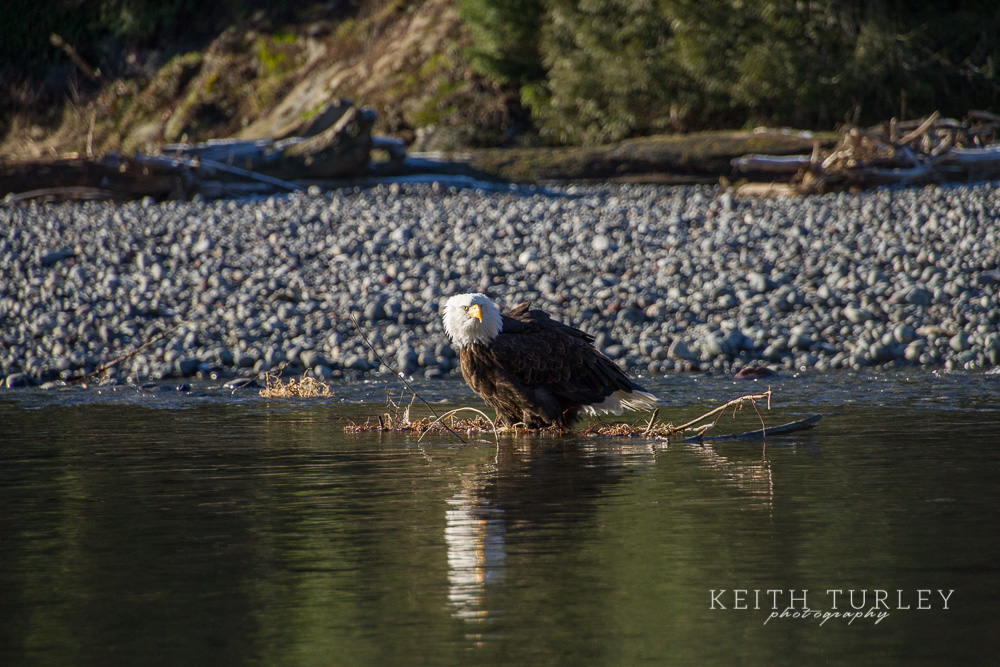 Bald eagles at mosquito lake road keith turley photography for Mosquito lake fishing