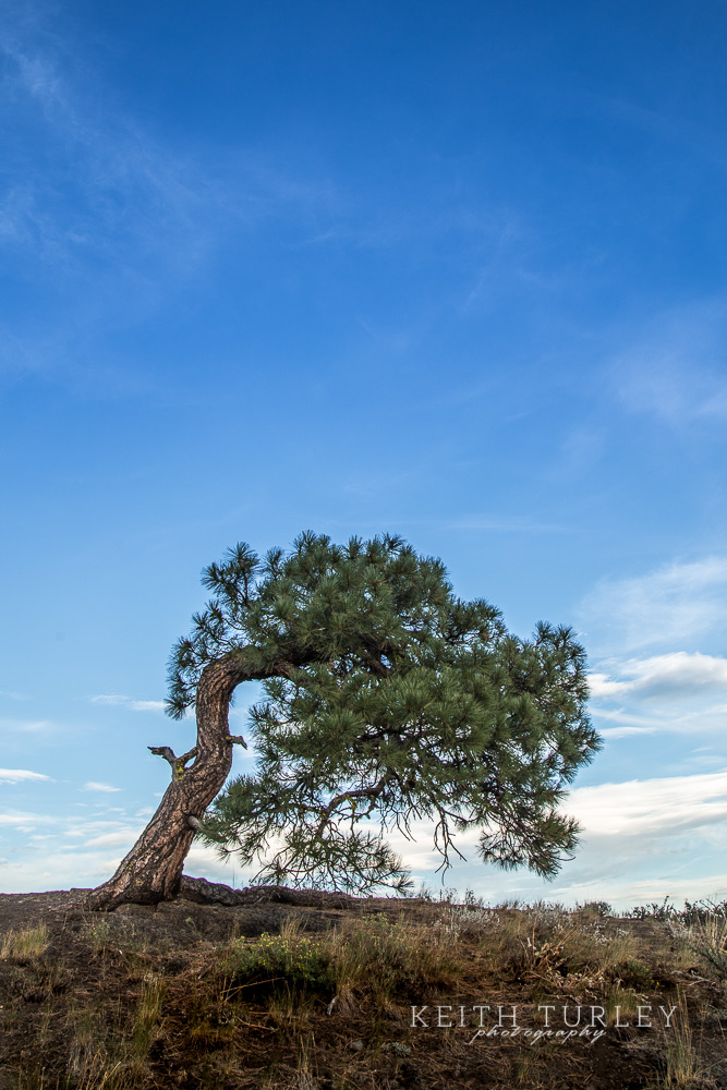 Lone Twisted Pine 2 Keith Turley Photography