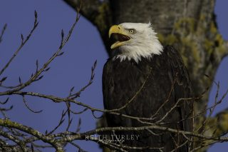 Eagle Talking by Keith Turley