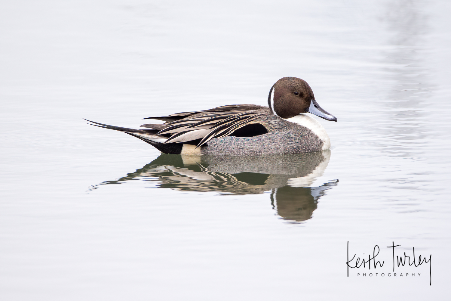 210117 7989 Northern Pintail
